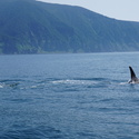 Thumbnail of Killer whale