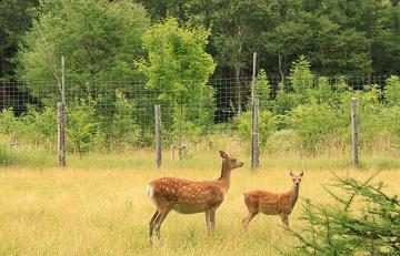 deers_shiretoko.png